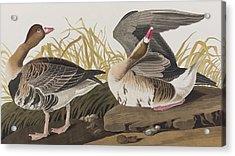 White-fronted Goose Acrylic Print by John James Audubon
