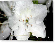 White Gardenia  Acrylic Print by Evelyn Patrick