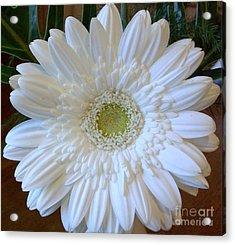 White Gerber Beauty Acrylic Print by Marsha Heiken
