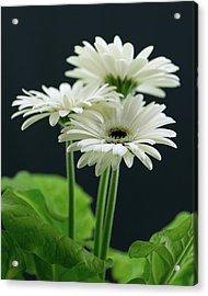 White Gerbers Acrylic Print