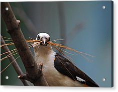 White-headed Buffalo Weaver Acrylic Print