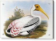 White-headed Ibis, Tantalus Leucocephalus Acrylic Print