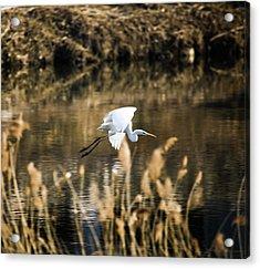 White Heron Acrylic Print