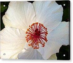 White Hibiscus Acrylic Print by Alohi Fujimoto