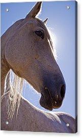 White Horse Acrylic Print by Dustin K Ryan