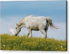 Acrylic Print featuring the photograph White Horse Of Cataloochee Ranch 2 - May 30 2017 by D K Wall