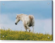 Acrylic Print featuring the photograph White Horse Of Cataloochee Ranch - May 30 2017 by D K Wall