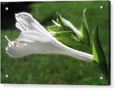 Acrylic Print featuring the photograph White Hosta Flower 46 by Maciek Froncisz