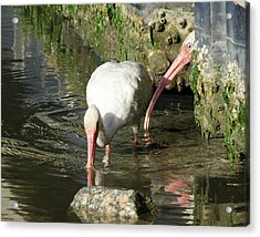 White Ibis Couple Acrylic Print by George Randy Bass