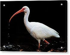 White Ibis Dripping Acrylic Print