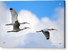 White Ibis Flock Acrylic Print