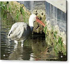 Acrylic Print featuring the photograph White Ibis Headed Home by George Randy Bass