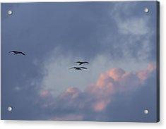 White Ibis In Flight At Sunset Acrylic Print