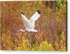 White Ibis In Hilton Head Island Acrylic Print
