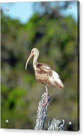 White Ibis In Jekyll Island Marsh Acrylic Print by Bruce Gourley