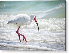 White Ibis Acrylic Print