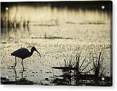 White Ibis Morning Hunt Acrylic Print