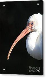 White Ibis Profile Acrylic Print by Carol Groenen