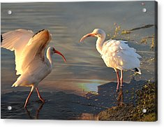 White Ibis - Ready For The Roost Acrylic Print