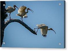 White Ibis Takeoff Acrylic Print