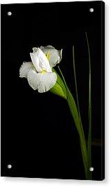 White Iris Acrylic Print by Elsa Marie Santoro