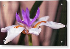 White Iris Acrylic Print by Evelyn Patrick