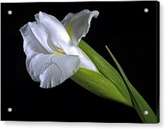 White Iris II Acrylic Print by Elsa Marie Santoro