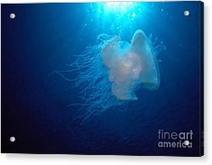 White Jellyfish Acrylic Print by Dave Fleetham - Printscapes