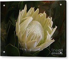 Acrylic Print featuring the photograph White King Protea By Kaye Menner by Kaye Menner