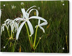White Lilies In Bloom Acrylic Print