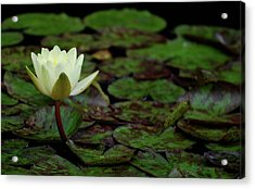 Acrylic Print featuring the photograph White Lily In The Pond by Amee Cave