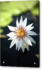 White Lily Pad Acrylic Print by Paul Michaels