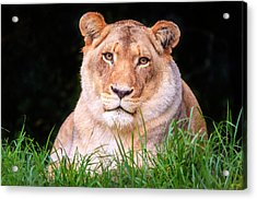 Acrylic Print featuring the photograph White Lion by Alexey Stiop