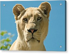 White Lion Acrylic Print