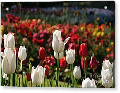White Lit Tulips Acrylic Print by Andrea Jean