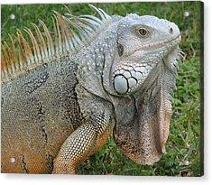 White Lizard Acrylic Print