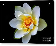 White Lotus Flower Acrylic Print