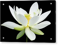 White Lotus On Black Acrylic Print by Dawn Currie