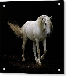White Lusitano Horse Walking Acrylic Print by Christiana Stawski