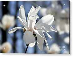 White Magnolia  Acrylic Print by Elena Elisseeva