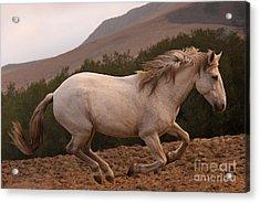 White Mare Gallops #1 -  Close Up Brighter Acrylic Print