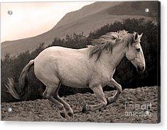 White Mare Gallops #1 -  Close Up Sepia Acrylic Print