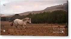 White Mare Gallops #1 - Panoramic Brighter Acrylic Print