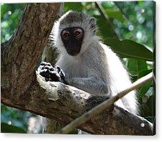 White Monkey In A Tree 4 Acrylic Print