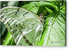 White Morpho Butterfly Acrylic Print by Joann Copeland-Paul