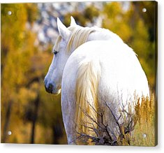 White Mustang Mare Acrylic Print