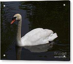 White North American Mute Swan Acrylic Print by Alex Roussinov