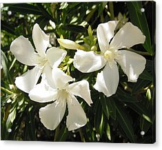 White Oleander Flowers Acrylic Print by Stephanie Moore