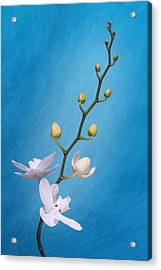 White Orchid Buds On Blue Acrylic Print
