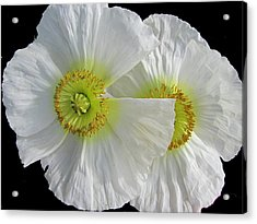 White Oriental Poppies Acrylic Print by Judith Turner